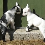 pygmy goats for sale, pygmy goats for sale near me