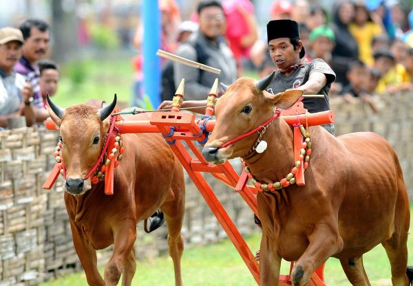 madura cattle, about madura cattle, madura cattle breed, madura cattle breed info, madura cattle breed facts, madura cattle behavior, madura cattle care, caring madura cattle, madura cattle color, madura cattle characteristics, madura cattle facts, madura cattle for milk, madura cattle for meat, madura cattle history, madura cattle info, madura cattle images, madura cattle milk, madura cattle meat, madura cattle origin, madura cattle pictures, madura cattle photos, madura cattle rarity, madura cattle size, madura cattle temperament, madura cattle uses, madura cattle weight