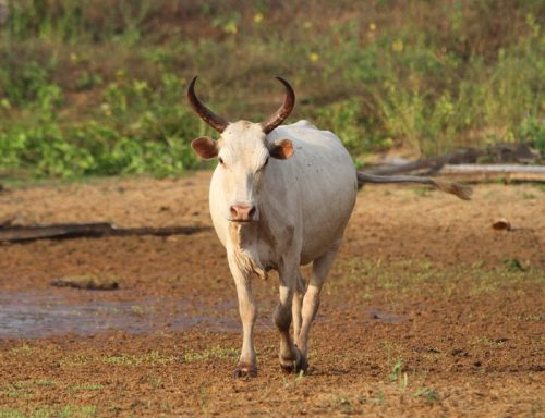 n'dama cattle, about n'dama cattle, n'dama cattle breed, n'dama cattle breed info, n'dama cattle breed facts, n'dama cattle behavior, n'dama cattle care, caring n'dama cattle, n'dama cattle color, n'dama cattle characteristics, n'dama cattle facts, n'dama cattle for milk, n'dama cattle for meat, n'dama cattle history, n'dama cattle info, n'dama cattle images, n'dama cattle milk, n'dama cattle meat, n'dama cattle origin, n'dama cattle pictures, n'dama cattle photos, n'dama cattle rarity, raising n'dama cattle, n'dama cattle rearing, n'dama cattle size, n'dama cattle temperament, n'dama cattle uses, n'dama cattle weight