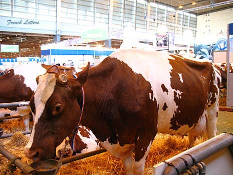 pie rouge des plaines cattle, about pie rouge des plaines cattle, pie rouge des plaines cattle breed, pie rouge des plaines cattle breed facts, pie rouge des plaines cattle breed info, pie rouge des plaines cattle care, caring pie rouge des plaines cattle, pie rouge des plaines cattle color, pie rouge des plaines cattle characteristics, pie rouge des plaines cattle facts, pie rouge des plaines cattle for milk, pie rouge des plaines cattle for meat, pie rouge des plaines cattle history, pie rouge des plaines cattle info, pie rouge des plaines cattle images, pie rouge des plaines cattle milk, pie rouge des plaines cattle meat, pie rouge des plaines cattle origin, pie rouge des plaines cattle photos, pie rouge des plaines cattle pictures, pie rouge des plaines cattle personality, pie rouge des plaines cattle rarity, raising pie rouge des plaines cattle, pie rouge des plaines cattle rearing, pie rouge des plaines cattle size, pie rouge des plaines cattle temperament, pie rouge des plaines cattle uses, pie rouge des plaines cattle weight