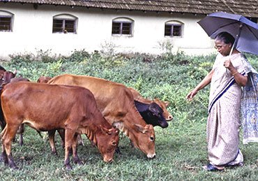vechur cattle, about vechur cattle, vechur cattle breed, vechur cattle breed facts, vechur cattle breed info, vechur cattle care, caring vechur cattle, vechur cattle color, vechur cattle characteristics, vechur cattle coat color, vechur cattle facts, vechur cattle for milk, vechur cattle farms, vechur cattle farming, vechur cattle history, vechur cattle info, vechur cattle images, vechur cattle milk, vechur cattle milk production, vechur cattle daily milk production, vechur cattle origin, vechur cattle photos, vechur cattle pictures, vechur cattle rarity, raising vechur cattle, vechur cattle rearing, vechur cattle size, vechur cattle temperament, vechur cattle uses, vechur cattle weight