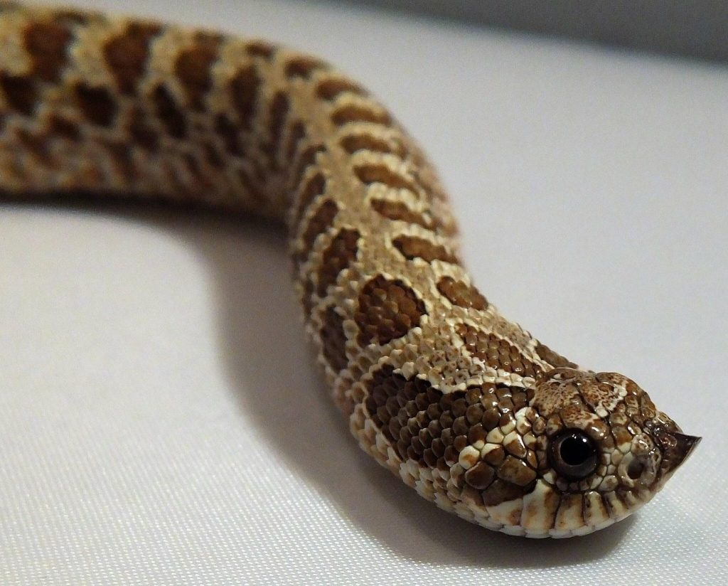 western hognose snake,western hognose snake for sale,western hognose snake morphs,western hognose snake care,western hognose snake size,western hognose snake playing dead,western hognose snake bite,how big do western hognose snakes get,western hognose snake price,western hognose snake for sale near me,western hognose snake breeders,western hognose snake breeding,are western hognose snakes venomous,western hognose snake venom,western hognose snake pet,western hognose snake habitat,western hognose snake range,western hognose snake enclosure,what do western hognose snakes eat, western hognose snake baby