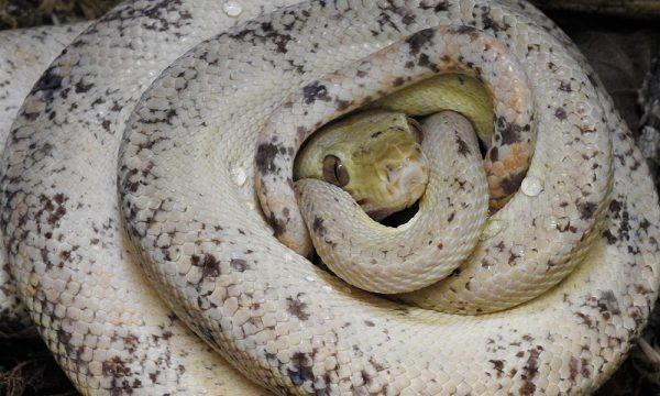 amazon tree boa, amazon tree boa for sale, amazon tree boa care, amazon tree boa teeth, amazon tree boa breeding, amazon tree boa breeders, amazon tree boa setup, amazon tree boa price, amazon tree boa handling, amazon tree boa cage, amazon tree boa cage set up, amazon tree boa cage size, amazon tree boa for sale uk, albino amazon tree boa, amazon tree boa buy, amazon tree boa adaptations, amazon tree boa book, amazon tree boa behavior, amazon tree boa length, amazon tree boa diet, what does the amazon tree boa eat, amazon tree boa as pet, amazon tree boa description, amazon tree boa colors, red and white amazon tree boa, do amazon tree boa bites hurt, amazon tree boa black, amazon tree boa babies for sale, amazon tree boa bite, amazon tree boa birth,