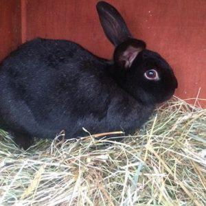alaska rabbit, alaska rabbits, about alaska rabbit, alaska rabbit breed, alaska rabbit breeders, alaska rabbit behavior, alaska rabbit breed info, alaska rabbit care, alaska rabbit color, alaska rabbit characteristics, alaska rabbit coat color, alaska rabbit facts, alaska rabbit for meat, alaska rabbit fur, alaska rabbit history, alaska rabbit info, alaska rabbit information, alaska rabbit images, alaska rabbit lifespan, alaska rabbit for meat, alaska rabbit meat, alaska rabbit origin, alaska rabbit picture, alaska rabbit photo, alaska rabbit personality, alaska rabbit size, alaska rabbit temperament, alaska rabbit uses, alaska rabbit variety, alaska rabbit weight