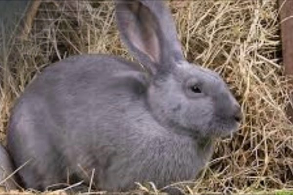 beveren rabbit, beveren rabbits, about beveren rabbit, beveren rabbit breed, beveren rabbit breeders, beveren rabbit behavior, beveren rabbit breed info, beveren rabbit care, beveren rabbit color, beveren rabbit characteristics, beveren rabbit color varieties, beveren rabbit facts, beveren rabbit for meat, beveren rabbit for fur, beveren rabbit fur, beveren rabbit fur color, beveren rabbit history, beveren rabbit info, beveren rabbit information, beveren rabbit images, beveren rabbit lifespan, beveren rabbit meat, beveren rabbit origin, beveren rabbit personality, beveren rabbit picture, beveren rabbit photo, beveren rabbit rearing, raising beveren rabbit, beveren rabbit size, beveren rabbit temperament, beveren rabbit uses, beveren rabbit variety, beveren rabbit weight