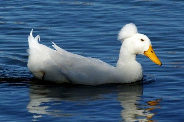crested duck, crested ducks, white crested duck, black crested duck, buff crested duck, blue crested duck, grey crested duck, about crested duck, crested duck breed, crested duck breeders, crested duck behavior, crested duck breed info, crested duck care, crested duck color, crested duck color varieties, crested duck characteristics, crested ducklings, crested duck eggs, crested duck eggs color, crested duck eggs size, crested duck eggs weight, crested duck facts, crested duck for meat, crested duck for eggs, crested duck feature, crested duck history, crested duck info, crested duck information, crested duck images, crested duck meat, crested duck origin, crested duck personality, crested duck picture, crested duck photos, crested duck as pets, crested duck rearing, raising crested duck, raising crested duck as pets, crested duck size, crested duck temperament, crested duck tame, crested duck uses, crested duck varieties, crested duck weight