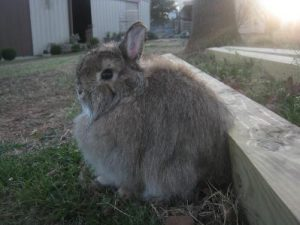 jersey wooly rabbit, jersey wooly rabbits, about jersey wooly rabbit, jersey wooly rabbit breed, jersey wooly rabbit behavior, jersey wooly rabbit care, jersey wooly rabbit color, jersey wooly rabbit characteristics, jersey wooly rabbit color varieties, jersey wooly rabbit facts, jersey wooly rabbit for children, jersey wooly rabbit breeders, jersey wooly rabbit history, jersey wooly rabbit info, jersey wooly rabbit information, jersey wooly rabbit images, jersey wooly rabbit lifespan, jersey wooly rabbit origin, jersey wooly rabbit personality, jersey wooly rabbit photo, jersey wooly rabbit picture, jersey wooly rabbit size, jersey wooly rabbit temperament, jersey wooly rabbit uses, jersey wooly rabbit variety, jersey wooly rabbit weight