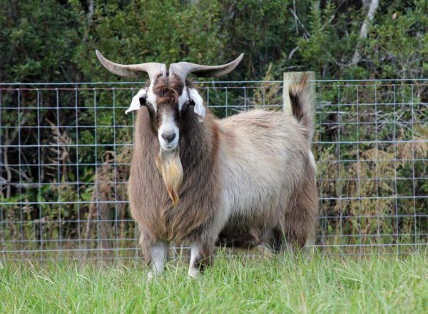 kiko goat, kiko goats, about kiko goat, kiko goat breed, kiko goat breeders, kiko goat behavior, kiko goat color, kiko goat coat color, kiko goat color varieties, kiko goat characteristics, kiko goat facts, kiko goat farm, kiko goat farming, kiko goat for sale, kiko goat for meat, kiko goat for meat, kiko goat history, kiko goat info, kiko goat images, kiko goat meat, kiko goat milk, kiko goat meat production, raising kiko goat for meat, kiko goat origin, kiko goat photos, kiko goat pictures, kiko goat personality, kiko goat rearing, raising kiko goat, raising kiko goats for meat, kiko goat size, kiko goat uses, kiko goat variety, kiko goat weight