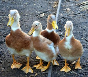 saxony duck, saxony ducks, about saxony duck, saxony duck breed, saxony duck breeders, saxony duck behavior, saxony duck breed info, saxony duck care, saxony duck color, saxony duck characteristics, saxony duck eggs, saxony duck egg color, saxony duck egg size, saxony duck egg weight, saxony duck facts, saxony duck for meat, saxony duck for eggs, saxony duck history, saxony duck hatchery, saxony duck info, saxony duck information, saxony duck images, saxony duck meat, saxony duck origin, saxony duck personality, saxony duck pictures, saxony duck photos, raising saxony duck, saxony duck size, saxony duck temperament, saxony duck uses, saxony duck variety, saxony duck weight, pet duck, pet ducks, raising duck as pet, raising pet ducks, caring ducks, caring pet duck, how to care for pet duck, how to take care of pet duck