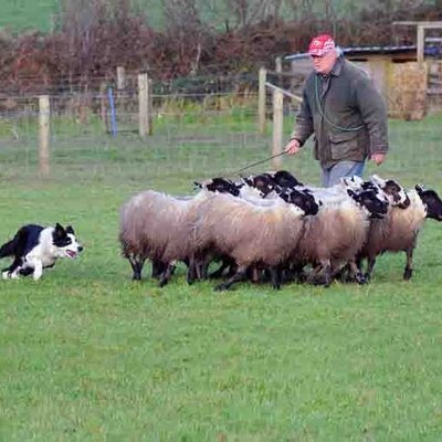 working sheepdog breed, sheepdog working from home, sheep herding dogs, border collie working sheep, sheep dogs for sale, dog rounding up sheep