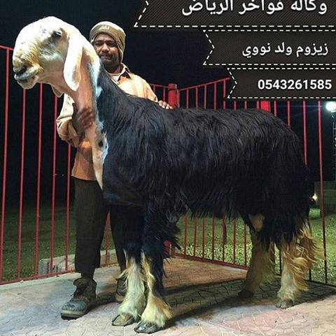 najdi sheep