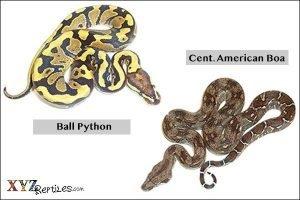 python and a boa?
