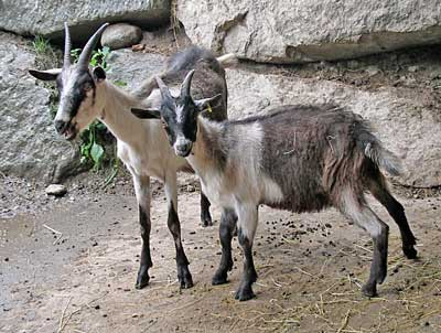 peacock goat, peacock goats, about peacock goat, peacock goat breed, peacock goat breeders, peacock goat behavior, peacock goat breed info, peacock goat color, peacock goat characteristics, peacock goat coat color, peacock goat color varieties, peacock goat facts, peacock goat farm, peacock goat farming, peacock goat for meat, peacock goat for milk, peacock goat origin, peacock goat picture, peacock goat personality, peacock goat photos, peacock goat rearing, raising peacock goat, peacock goat size, peacock goat temperament, peacock goat uses, peacock goat varieties, peacock goat weight, gray-black goat, gray-black-white goat, razza naz, colomba goat, pfauenziege