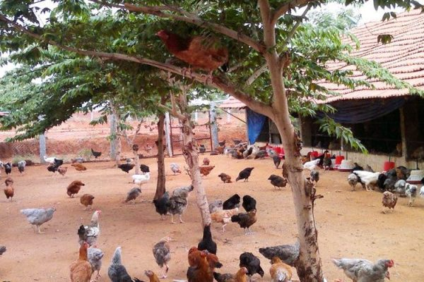 A Guide to Backyard Poultry Farming
