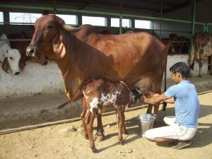 Care and Management of Pregnant Cattle