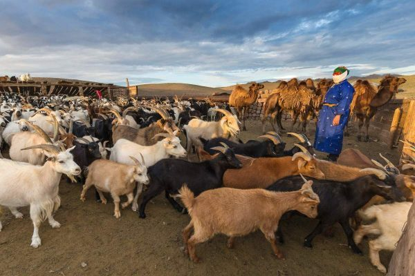 Constraints of goat production