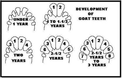 Determination of Age of goat