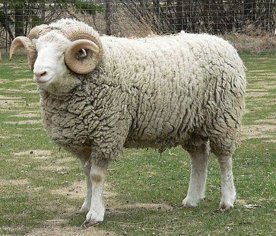 Dorset exotic sheep breed