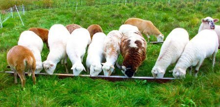 Feeding sheep at different ages