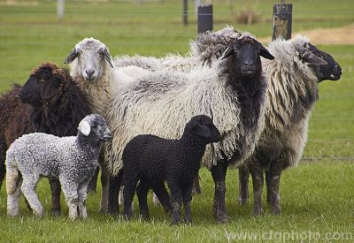 Karakul exotic sheep breed