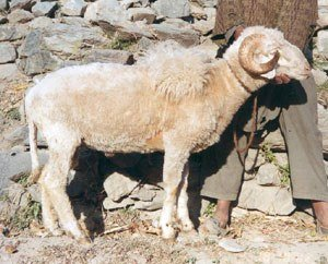 Karnah sheep