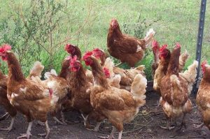 Indigenous Chicken breeds in India