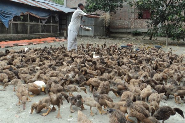Raising Ducks Might Be a Better Option Than Chickens