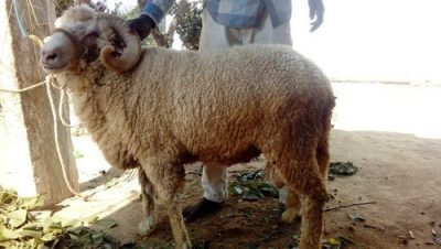 Rambouillet exotic sheep breed