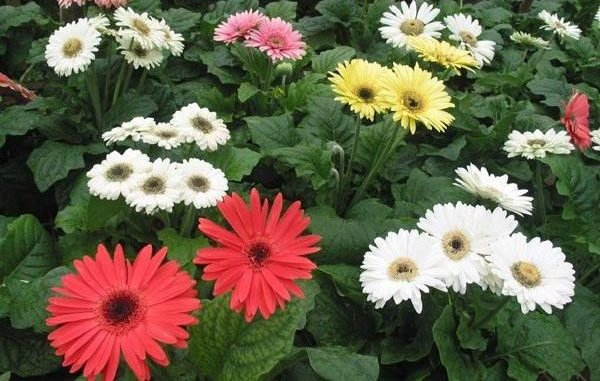 Gerbera-Flower-Farming